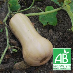 Courge Butternut 1kg